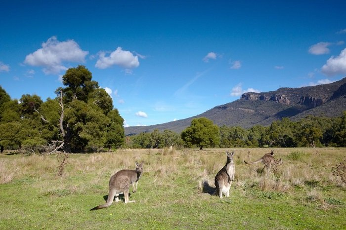 Kangaroos Grampians