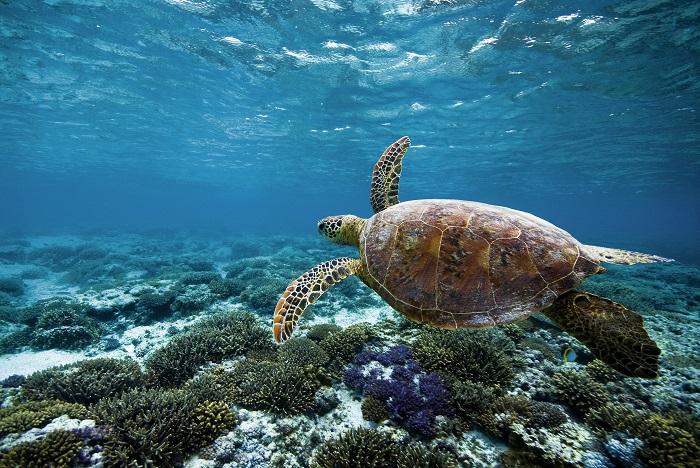 Green Island Green Turtle