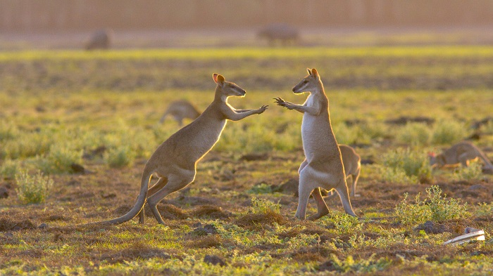 Wallabies playing