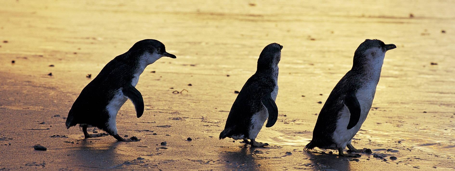 Phillip Island, Penguin Parade