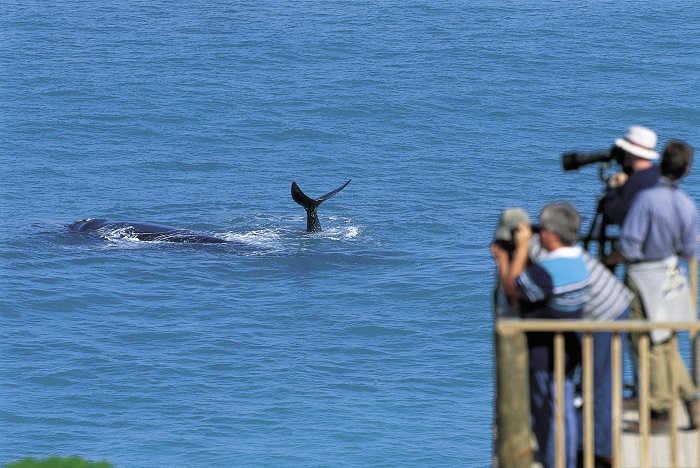 Whale watching on the Eyre Peninsula