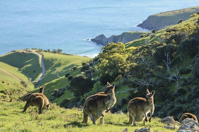 Eyre Peninsula, Kangaroos