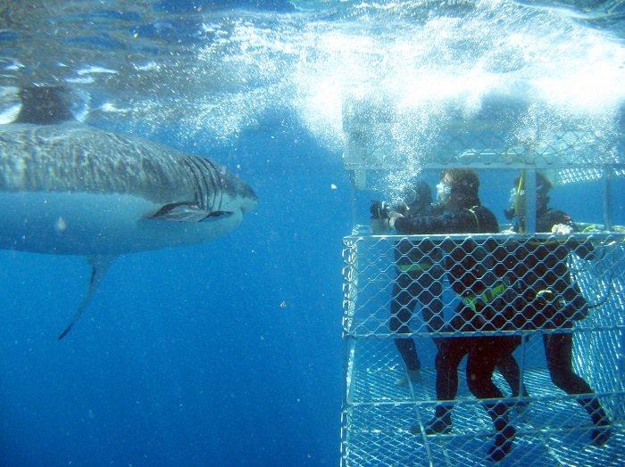 Eyre Peninsula, Shark Cage Dive