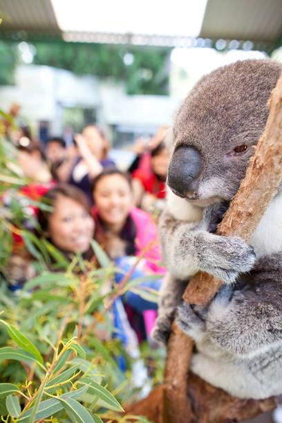 Koala at Caversham Wildlife Park