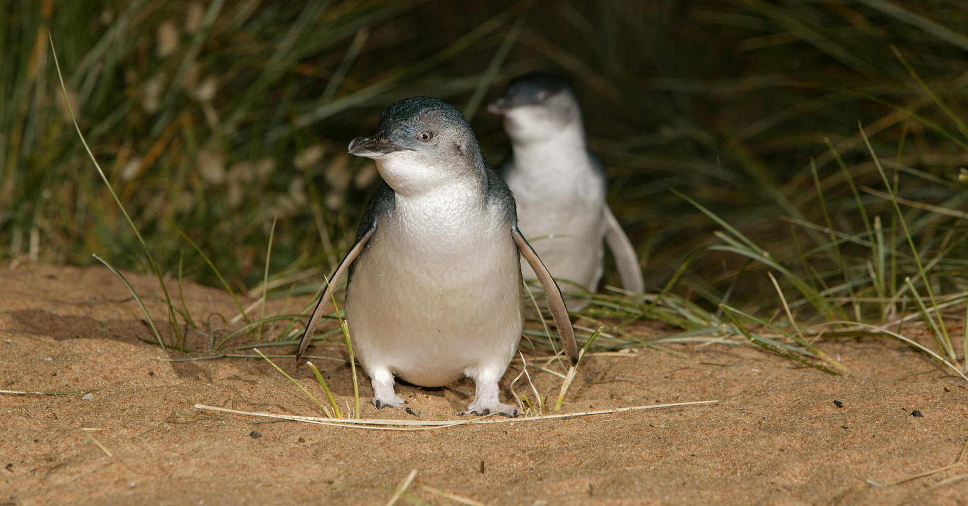 Watching the Penguin Parade with the Penguin Plus Upgrade
