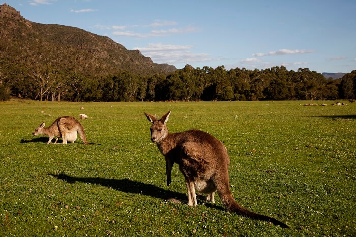 Kangaroos in Halls Gap