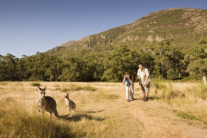 Couple looking at Kangaroos in Halls Gap