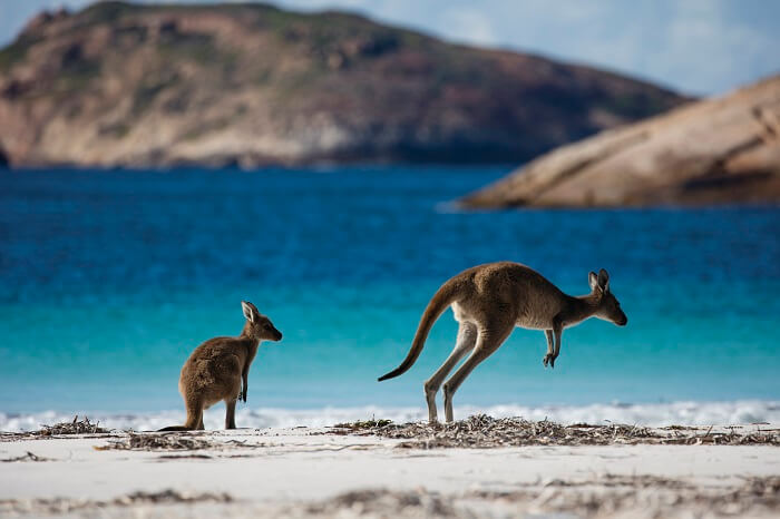 Kangaroos at Cape Le Grand National Park