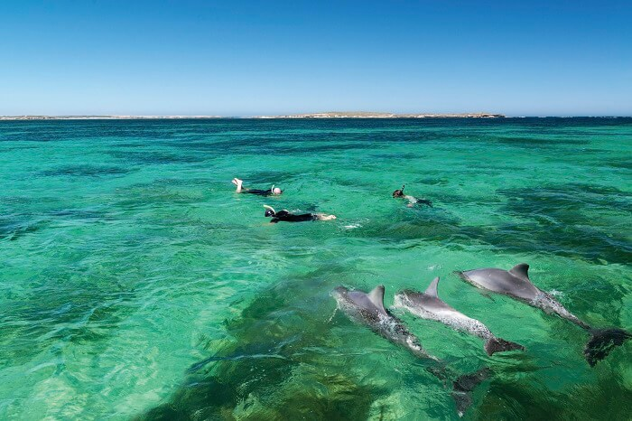 Swimming with Dolphins in Baird Bay
