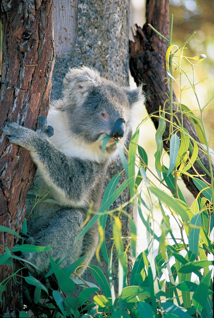 Koala, in Yanchep National Park