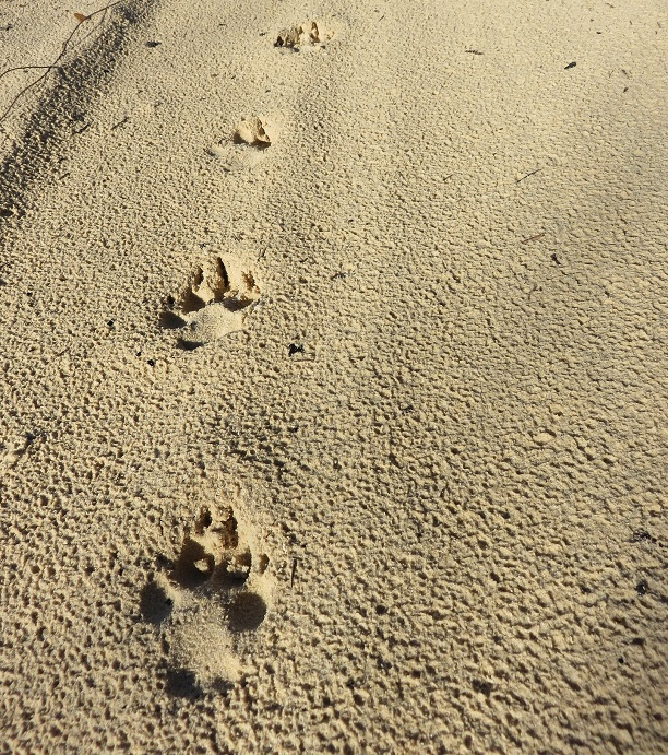 Why are the dingoes on Fraser Island so significant?