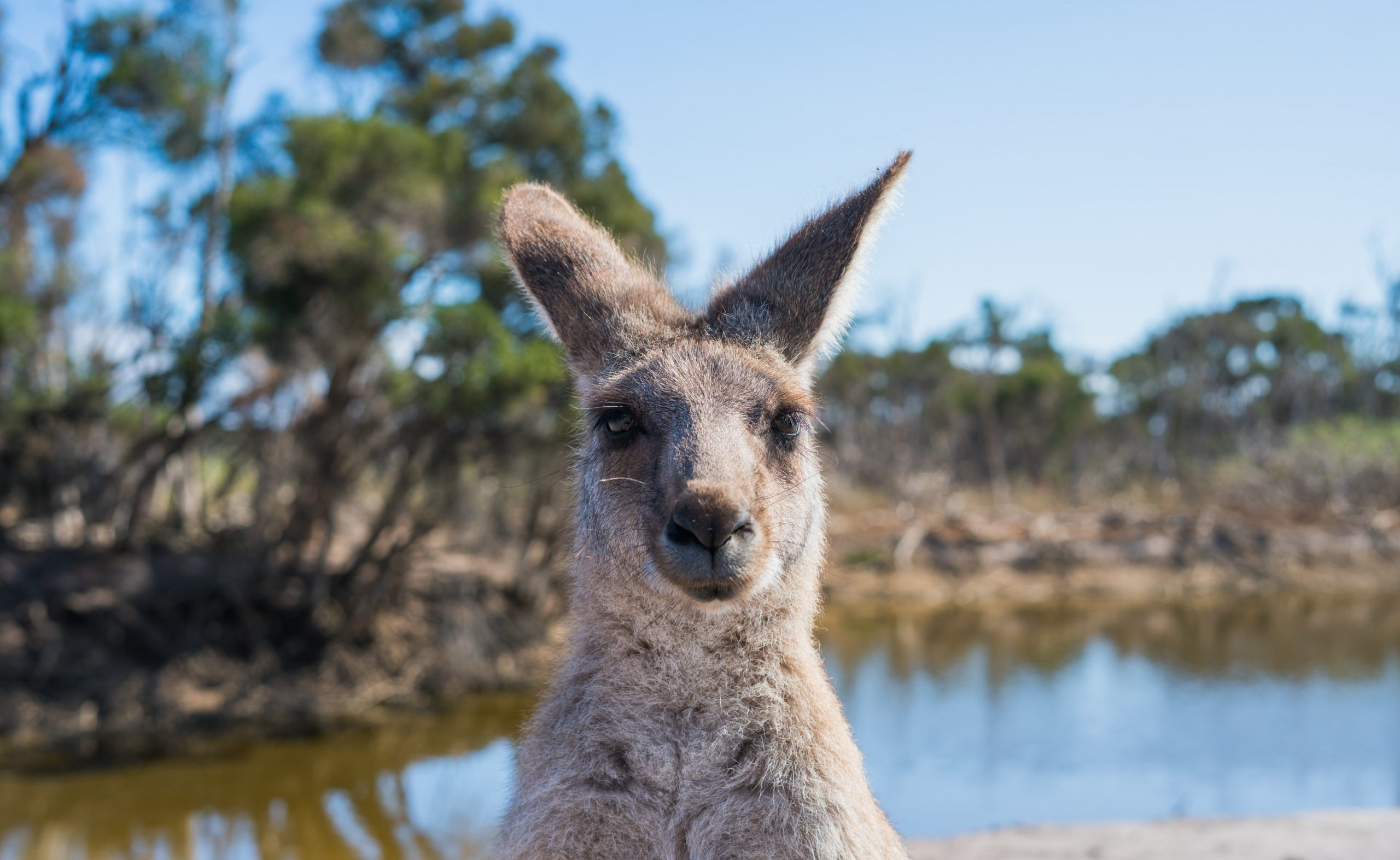 What other animals are there at Kangaroo Island?
