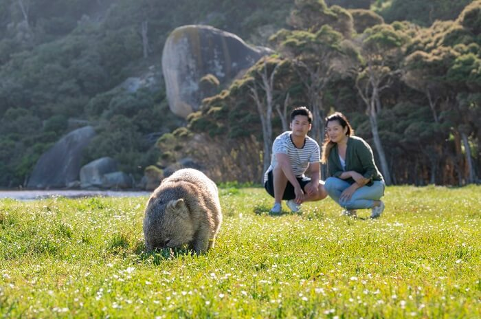 Wombats at Wilsons Promontory National Park