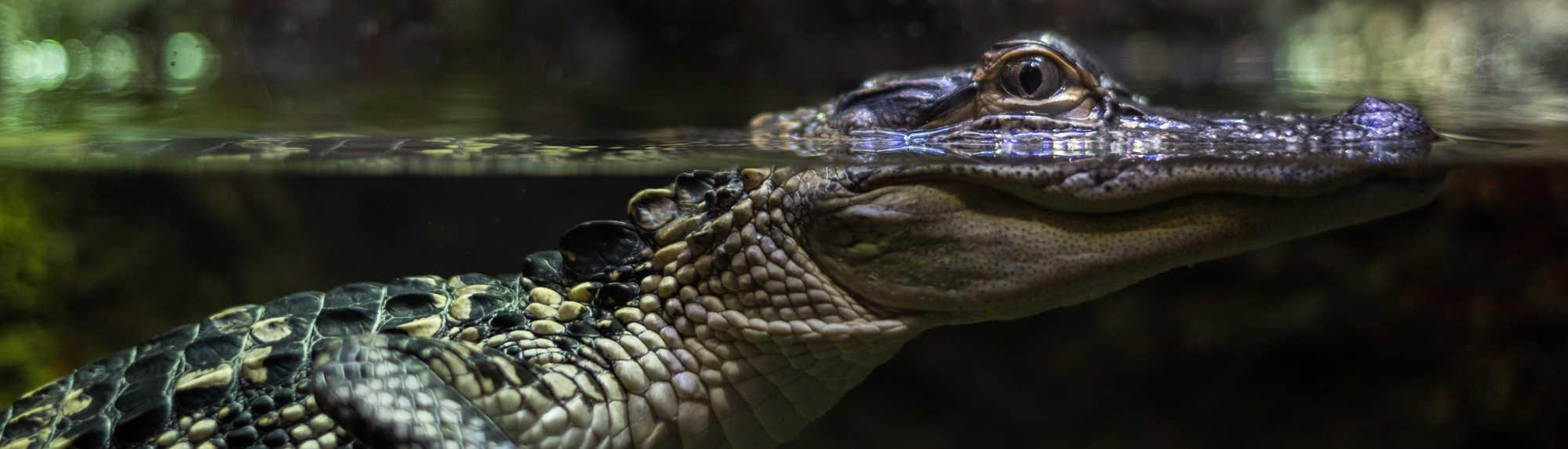 Can I Feed Crocodiles in Darwin?