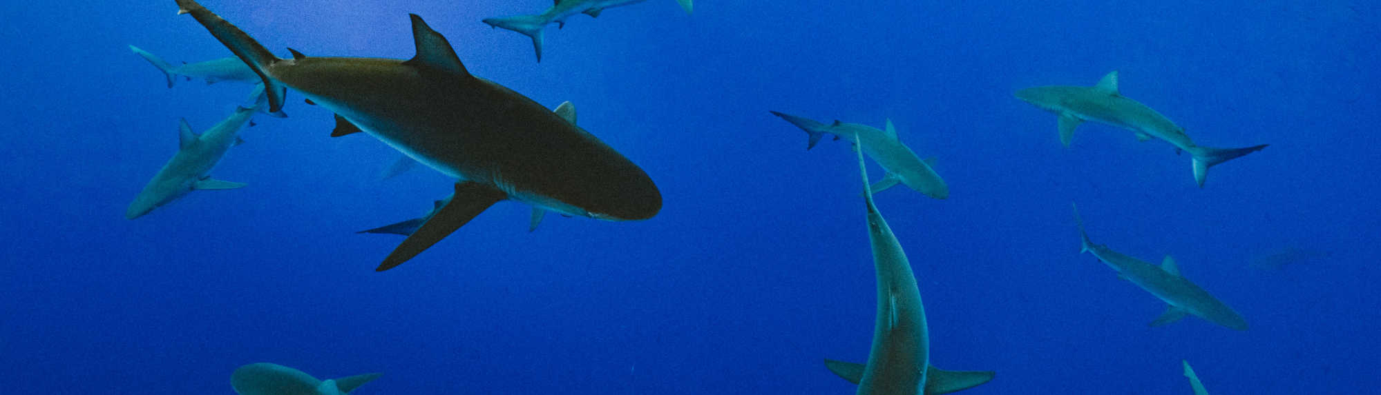 Are There Sharks in the Great Barrier Reef?