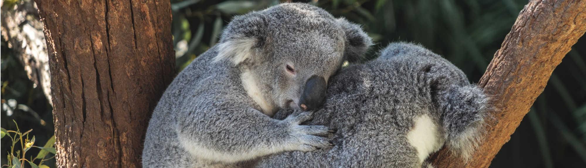 Can You Hold Koalas in Australia?