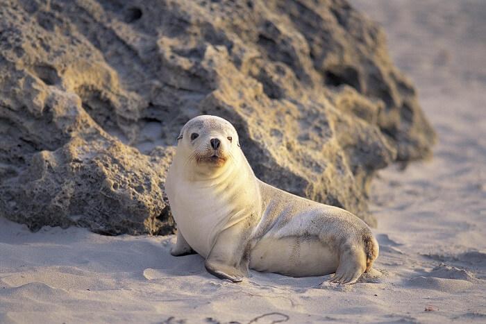 Baby Seal at Seal Bay
