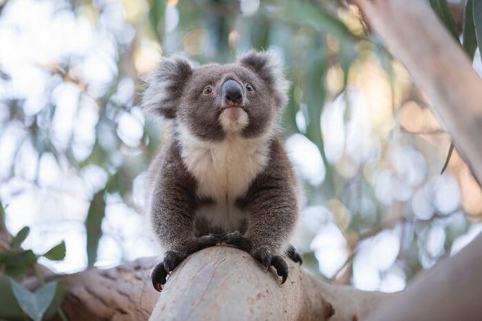 Koala at Mikkira