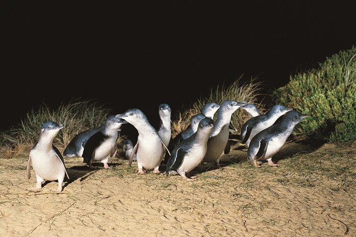 Phillip Island Day Tour - Penguin Parade