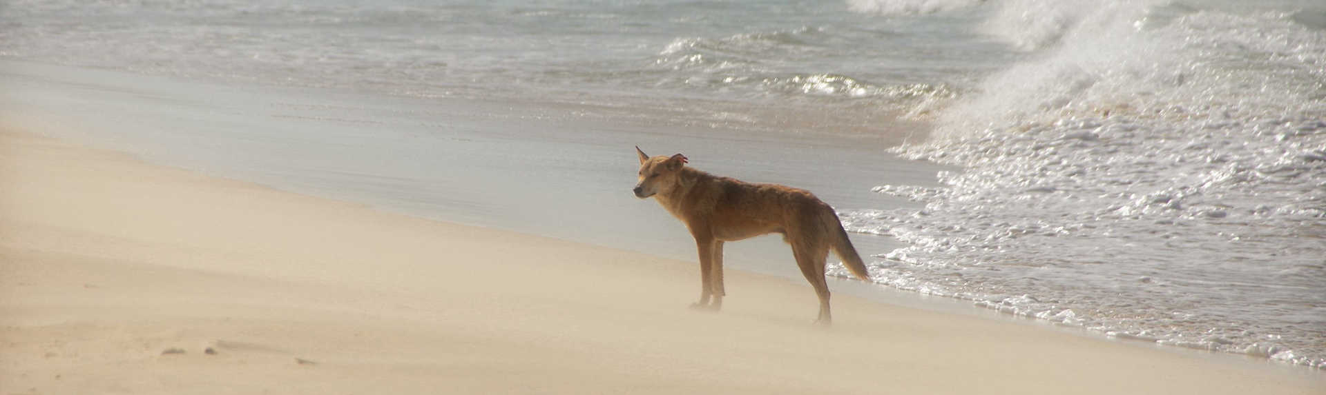 How many dingoes are left on Fraser Island?