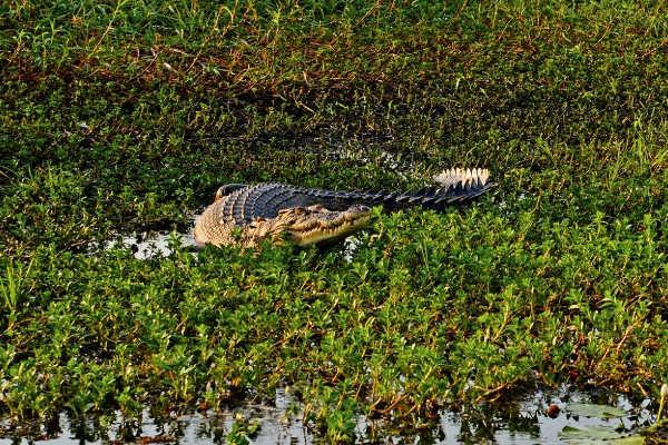 Kakadu National Park Crocodile