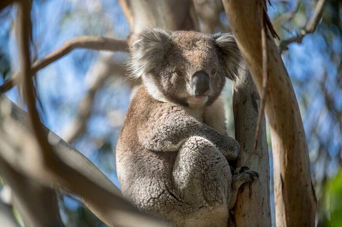 Koala on French Island