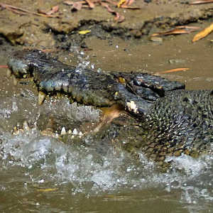 Are there crocodiles in Cairns?