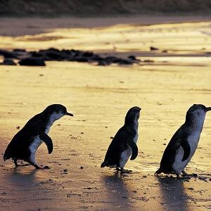 The Evening Penguin Parade Tour